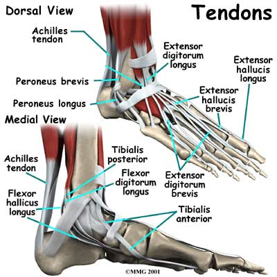 tendons of foot. like………… tendons-foot.jpg